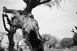 达坂城大片沧桑百年的古榆树如今再次抽出新芽,焕发生机