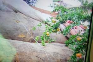 缅甸草花梨原木直径一米以上