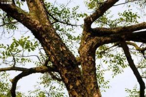 阔叶黄檀称印尼黑酸枝是什么木头?是红木吗?