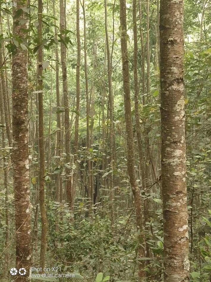 水冬瓜木原木原产地直销
