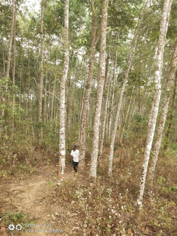 水冬瓜木原木原产地直销图片
