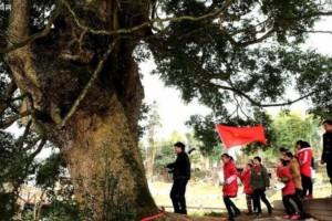 中国最大的三棵金丝楠木农村叫什么树?