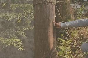 嫌邻居家香樟树碍事,她把4棵香樟树扒了皮被判赔12400元