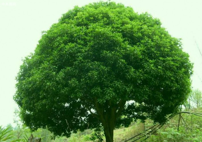 香樟树的作用介绍图片