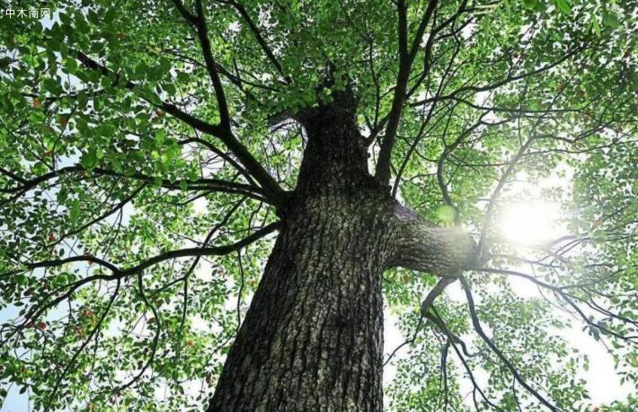 香樟树的特点和香樟树苗木样子好看吗