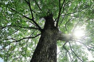 香樟树的特点和香樟树苗木样子好看吗?