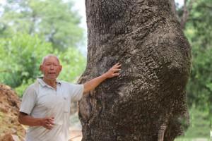 大树之王,河南卢氏发现300年的古椿树