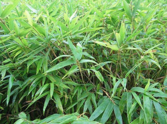 优质毛竹,楠竹袋苗厂家直销价格