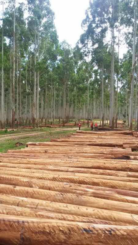 澳洲尤加利原木原产地直销