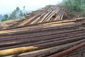 2020年新西伯利亚州木材采伐量已经超过15万立方米