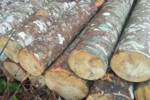 印度尼西亚轻木原木出售
