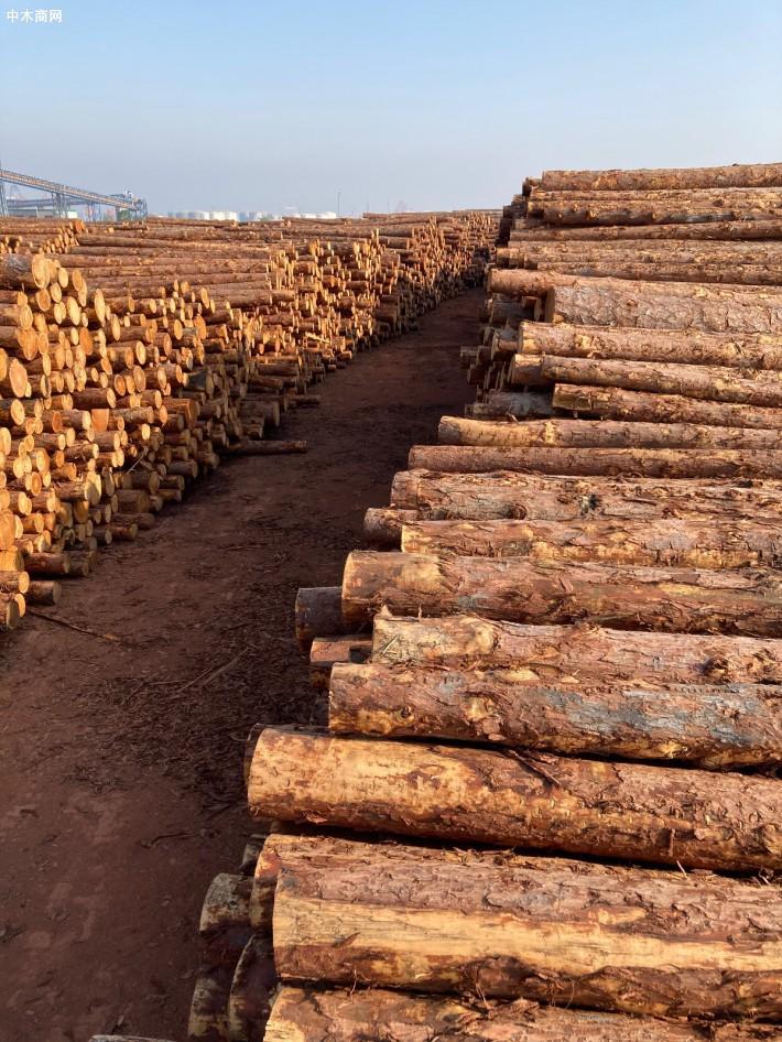 4米俄罗斯落叶松原木,大小径级齐全
