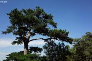 我国松树和柏树的定义及其资源分布浅谈