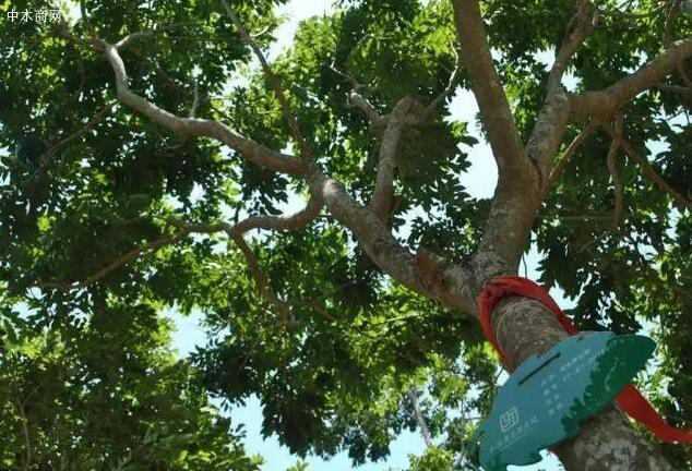 海南黄花梨木有香味吗图片