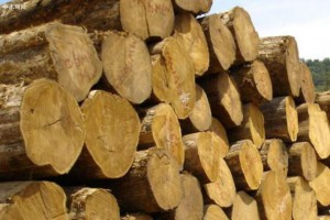 缅甸下一财政年将削减为8000吨柚木原木,20万吨硬木木材采伐量