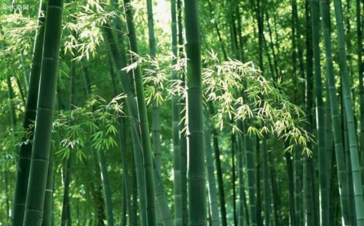 求购:一批楠竹竹子