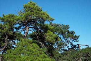 新西兰松木为什又叫辐射松对人体有害吗?