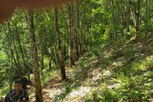 橡胶木原木十几万吨低价出售