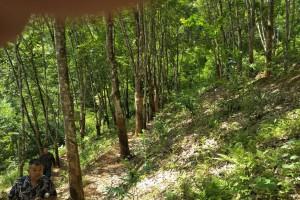 橡胶木原木十几万吨原产地低价出售视频展示