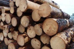 大量新砍伐松木原木