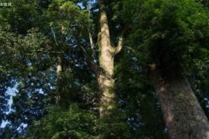 什么是金丝楠木有什么作用?