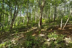 大量供应橡胶木原木