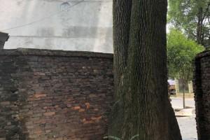 香樟树原木直径1.5米一棵,直径40公分2棵