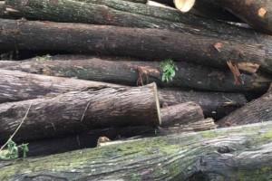 求购:柏木原木