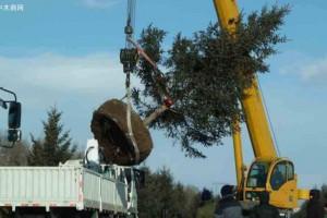 大树起挖移栽中经常缺水?栽后存活率不高,原来是这几点没有做好