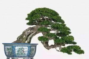 提根黄杨木盆景洗根和养护,掌握这两个方法,观赏价值就会与众不同!