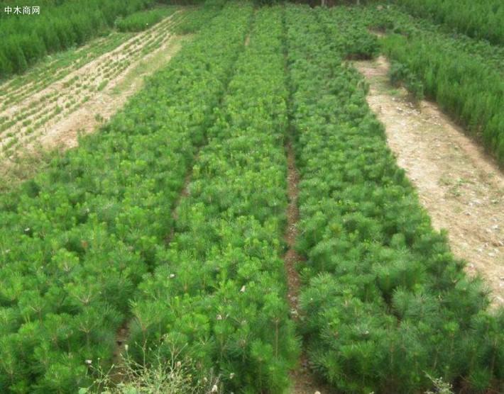 正确的黑松苗种植方法介绍