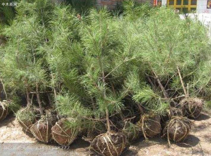 正确的黑松苗种植方法介绍图片