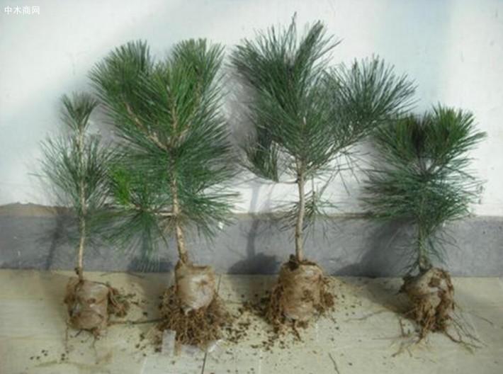 正确的黑松苗种植方法介绍基地