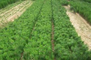 正确的黑松苗种植方法介绍?