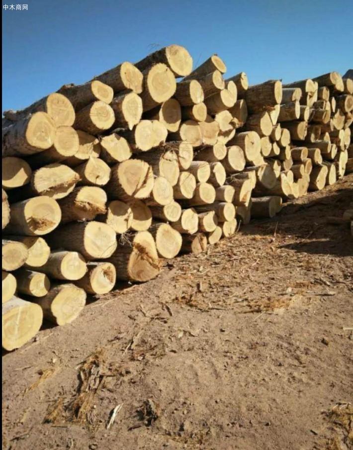 求购:长期大量现场收购杨木原木,杨树林,柳树,榆树,桐树,马尾松,旧木材,柴火,树枝图片