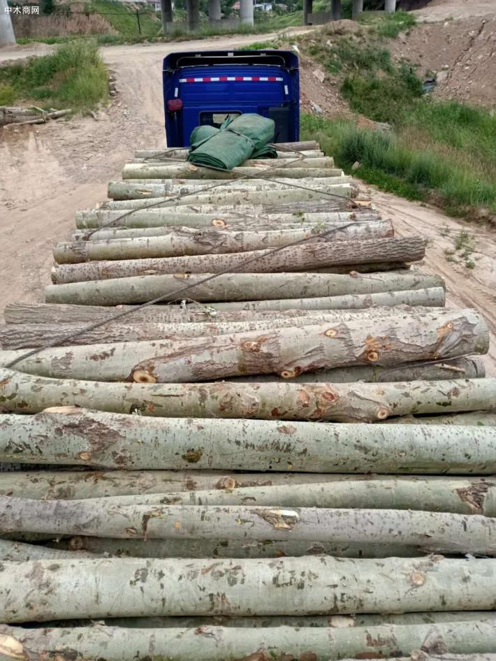 求购:长期大量现场收购杨木原木,杨树林,柳树,榆树,桐树,马尾松,旧木材,柴火,树枝价格
