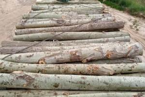 木材加工厂全国上门收购杨树原木
