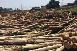 桉木原木批发价格,量大从优