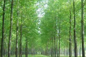 杨木是什么树?