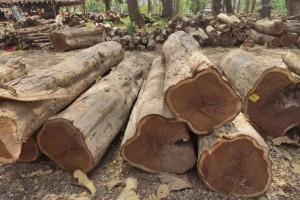 印尼柚木(政府自然林)原木大量原产地批发价格