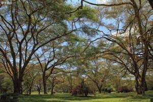 越南相思木种植受到真菌侵害严重