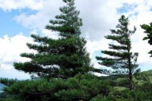 白松木材的优缺点及用途有哪些?