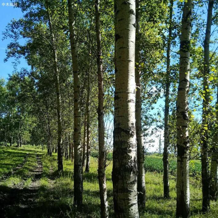 大量收购杨树,杨树原木,柳树,榆树,桐树,麻柳各种木材原木