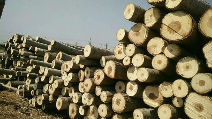 大量收购杨树,杨树原木,柳树,榆树,桐树,麻柳各种木材原木图片