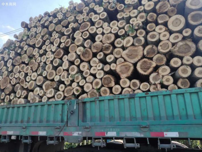 大量收购杨树,杨树原木,柳树,榆树,桐树,麻柳各种木材原木价格