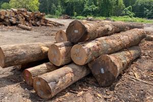 高等级北美红橡原木高清图片