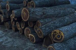 美国黑胡桃原木产地伊利诺伊&威斯康星