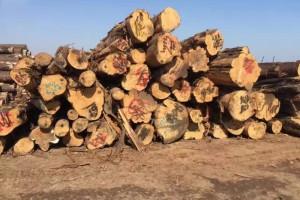 山东省环森木业香柏木原木高清图片
