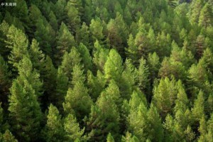 俄罗斯培育新树种将有效应对土壤退化和干旱现象