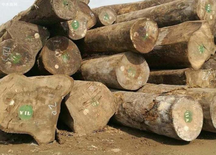 大绿柄桑木材属性及用途